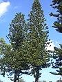 Starr 031108-0148 Araucaria columnaris.jpg