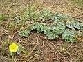 Starr 050519-6870 Tribulus cistoides.jpg