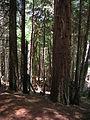Starr 050818-4141 Cupressus macrocarpa.jpg