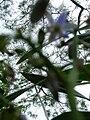 Starr 060221-6057 Dianella sandwicensis.jpg