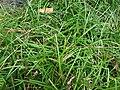 Starr 060928-0475 Ophiopogon japonicus.jpg