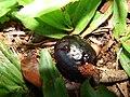 Starr 061128-1659 Syzygium cumini.jpg