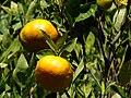 Starr 061223-2672 Citrus reticulata.jpg