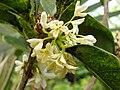 Starr 070906-8517 Osmanthus fragrans.jpg