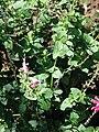 Starr 071024-0077 Salvia coccinea.jpg