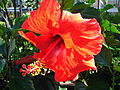 Starr 080103-1210 Hibiscus rosa-sinensis.jpg