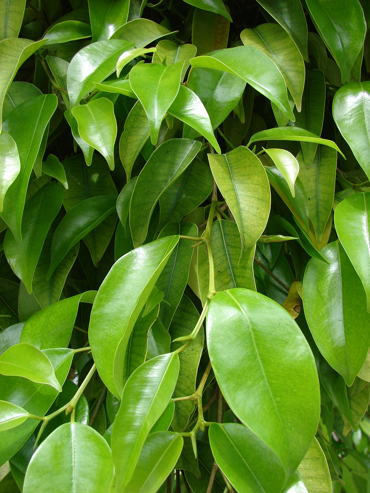 Ficus benjamina wikipedia for Ficus planta interior