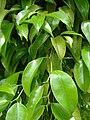 Starr 080608-7577 Ficus benjamina.jpg