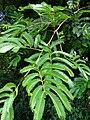 Starr 080716-9408 Unknown fabaceae.jpg
