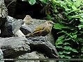 Streaked Laughingthrush (Trochalopteron lineatum) (15886252381).jpg