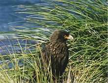 A Striated Caracara standing among tall grass