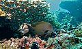 Striated Surgeonfish (Ctenochaetus striatus) (6130684318).jpg