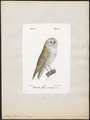 Strix flammea - 1842-1848 - Print - Iconographia Zoologica - Special Collections University of Amsterdam - UBA01 IZ18400225.tif