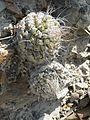 Strombocactus disciformis (5780099731).jpg