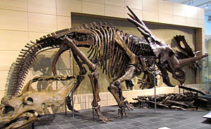 Styracosaurus - Holotype skeleton, Canadian Museum of Nature