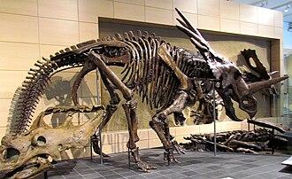 Styracosaurus - Holotype skeleton, Canadian Museum of Nature