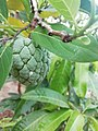 Sugar apple with small insect.jpg