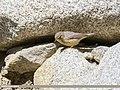 Sulphur-bellied Warbler (Phylloscopus griseolus) (34194856824).jpg