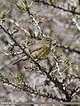 Sulphur-bellied Warbler (Phylloscopus griseolus) (36312825365).jpg
