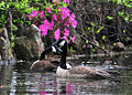 Sumter, South Carolina, USA. Canadian Geese swim in swan lake. The Iris Gardens 100414-F-8430J-046.JPG