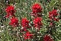 Sun peaks alpine flowers in full bloom.Indian Paintbrush (Castilleja miniata). (19596717916).jpg