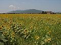 Sunflower field in Hikawa 02 - Aug 14, 2006.jpg
