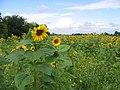 Sunflowers - geograph.org.uk - 937524.jpg