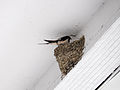 Swallow Retured Old Nest under the Roof of Taipei Minsheng Post Office 20150308.jpg
