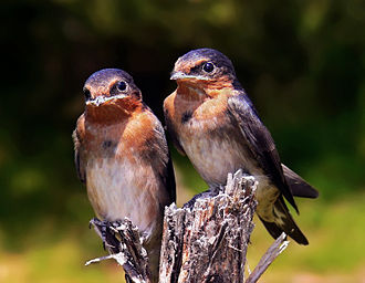 Fledge - A pair of welcome swallow chicks, Hirundo neoxena, taken the day after they fledged.