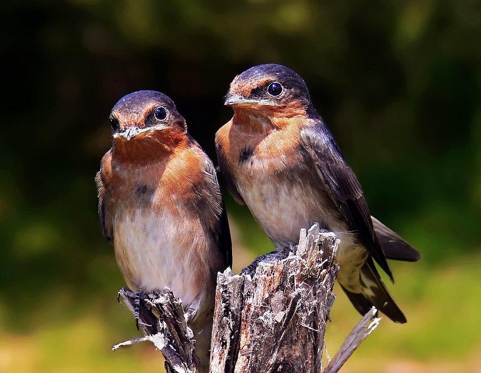 Swallow chicks444