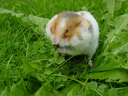 Myomorpha: Golden or Syrian hamster Syrian hamster filling his cheek pouches with Dandelion leaves.JPG