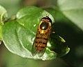 Syrphidae Wyn3.jpg