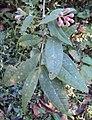 Syzygium Munronii 07.JPG