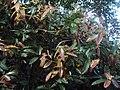 Syzygium mundakam 02.JPG