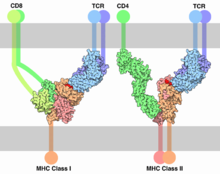 Association of a T cell with MHC class I or MHC class II, and antigen (in red)