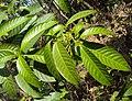 Tabernaemontana alternifolia 11.JPG