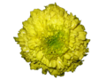 Tagetes.png
