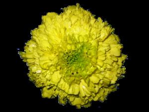African marigold flower (Tagetes spp.)