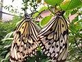 Taiwanese butterflies.jpg