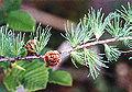 Tamarack-foliage.jpg