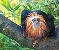 Tamarin lion à tête dorée ( Leontopithecus chrysomelas ).jpg
