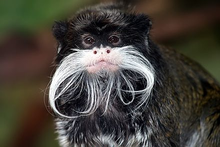 Emperor tamarin, a New World monkey Tamarin portrait 2 edit3.jpg