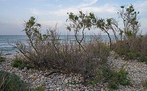 Tamarix gallica - In front of the sea in Vic-la-Gardiole.