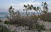 Tamarix gallica, Vic-la-Gardiole 01.jpg