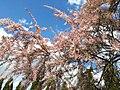Tamaryszek, kwiaty - maj 2020.jpg