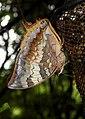 Tawny Rajah Charaxes bernardus Male UN by Dr. Raju Kasambe DSCN1769 (2).jpg