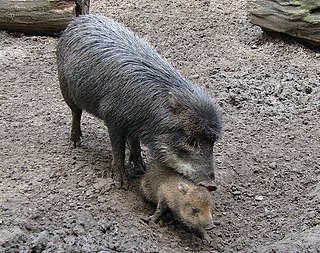 White-lipped peccary A species of mammals belonging to the peccary family of even-toed ungulates