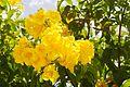 Tecoma Stans (Yellow Elder) (28894245335).jpg