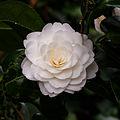 Tere schoonheid van de Camellia × williamsii 'Jury's Yellow' bloem. Locatie, Tuinreservaat Jonker vallei 04.jpg