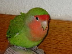 Teri's lovebird - resized for joy t - 20040228 img0006.jpg